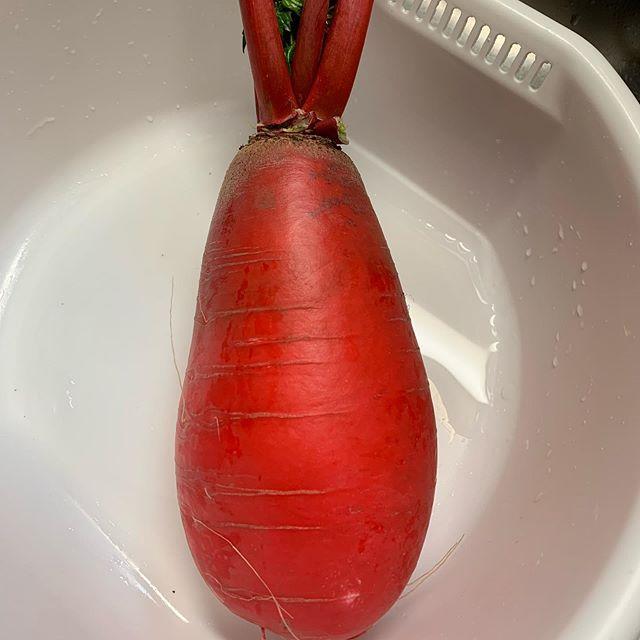 大根 紅化粧