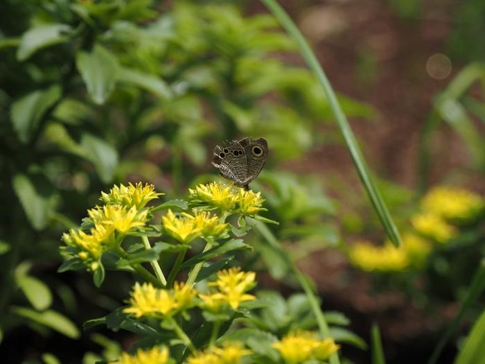 神代植物公園 チョウ