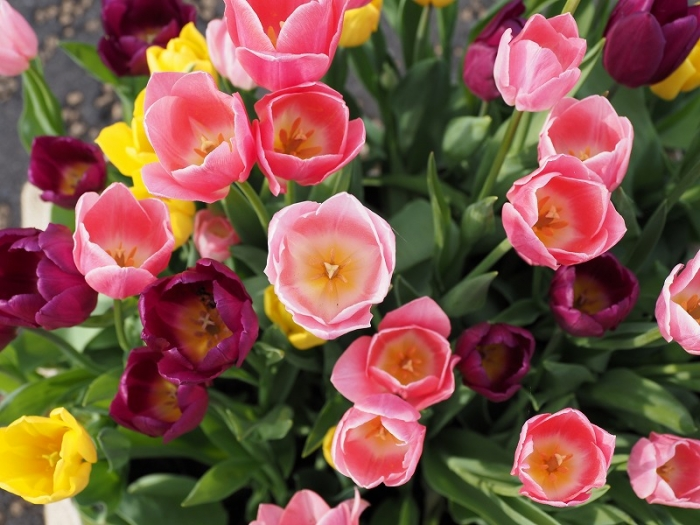 花菜ガーデン アイスチューリップ