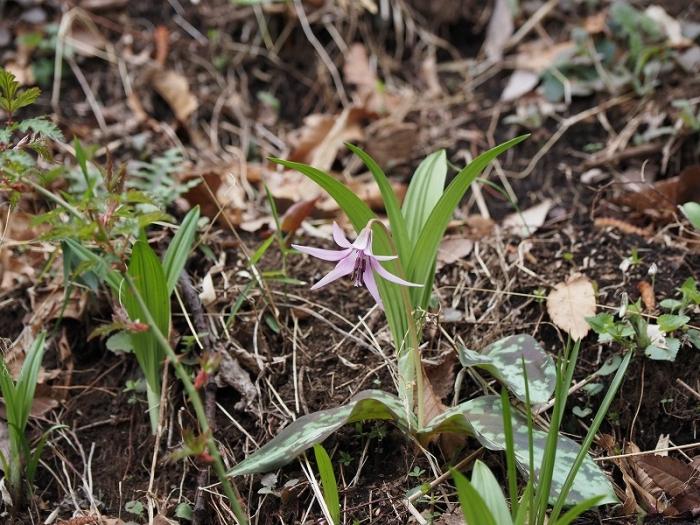 町田かたかごの森 カタクリの花